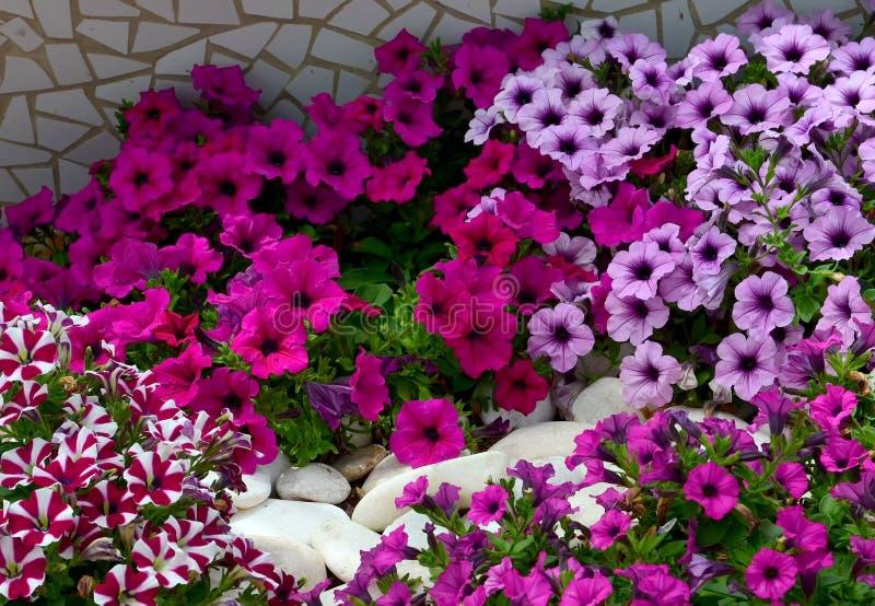 Petuniablommor på en rabatt i sommarträdgård Blom- bakgrund för ljusa färgrika petunior fotografering för bildbyråer