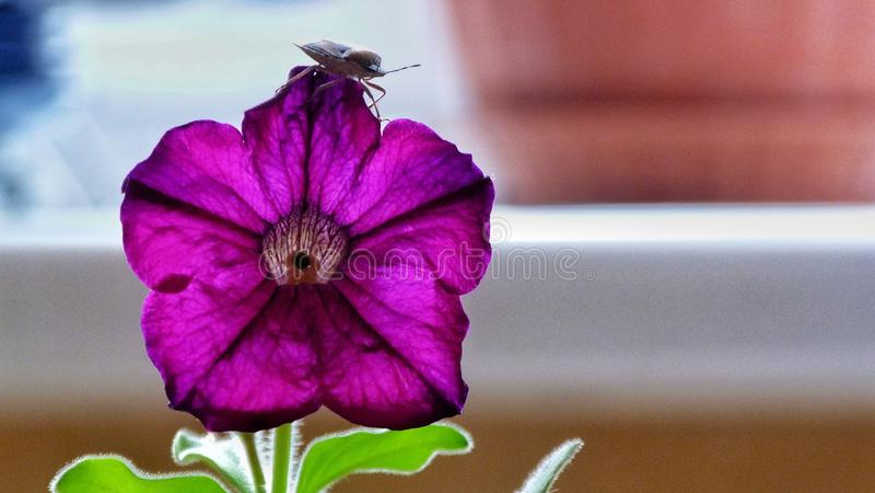 Petunialilor royaltyfri foto