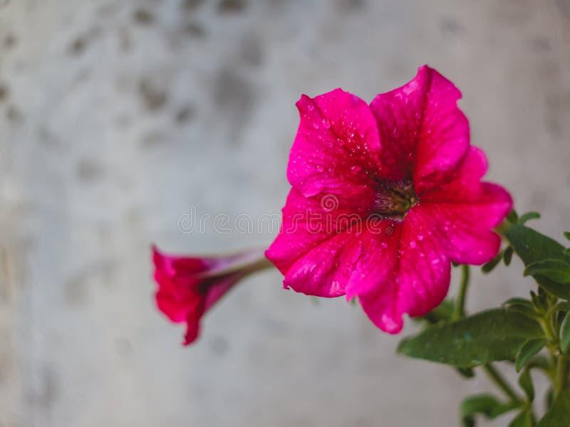 petunian blommar röda rosa lilor, vita blommor i en blomkruka på balkongen i solljuset arkivbild