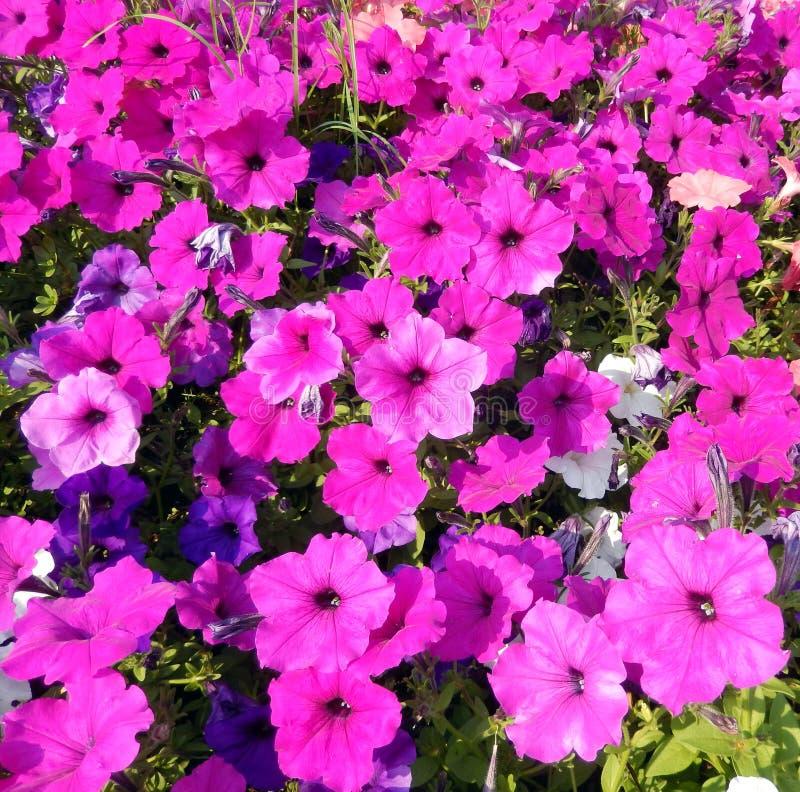 Petuniarabatt för varma rosa färger fotografering för bildbyråer
