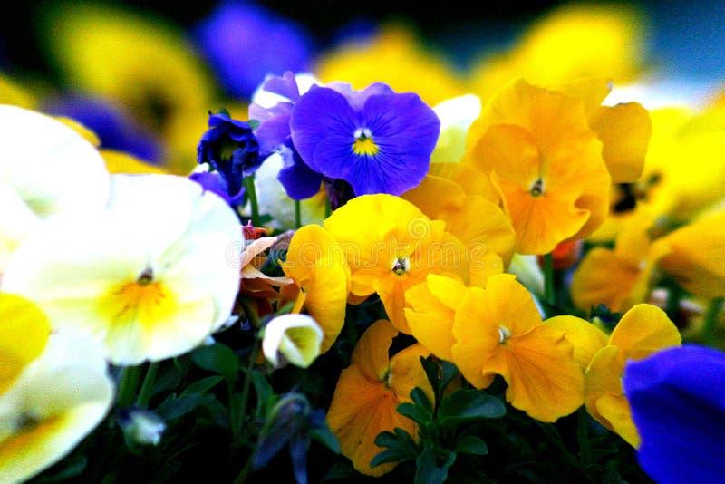 Petunias royalty free stock image