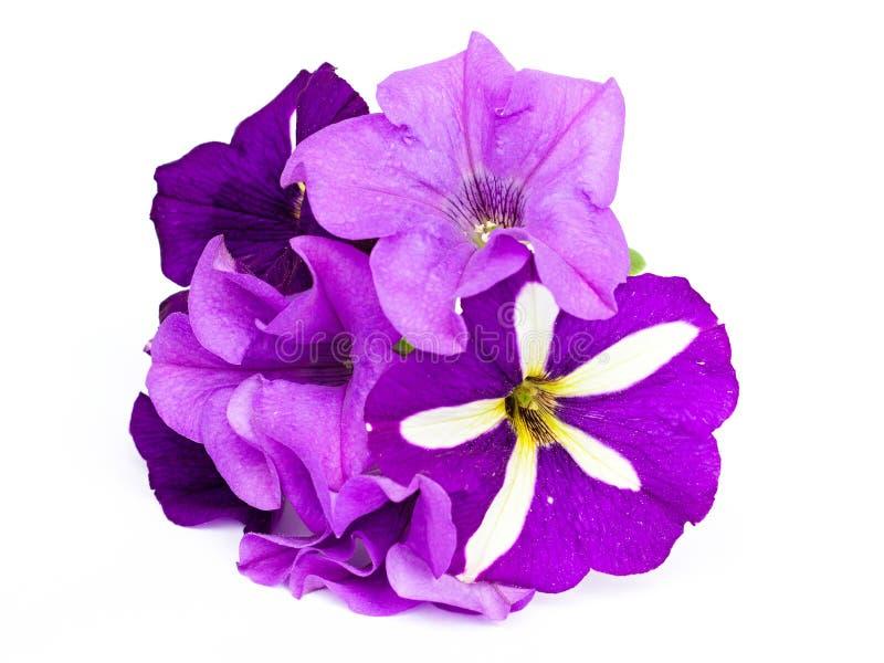 Petunias imagen de archivo libre de regalías
