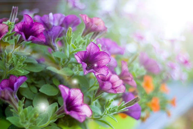Petunias imagen de archivo