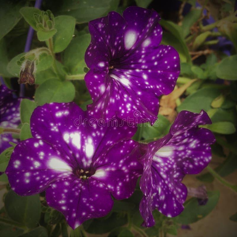 Petunias bastante púrpuras fotos de archivo