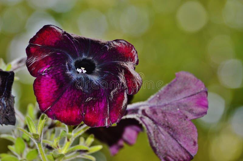 Petunias with bokeh background. Purple petunia flowers with green bokeh background stock images