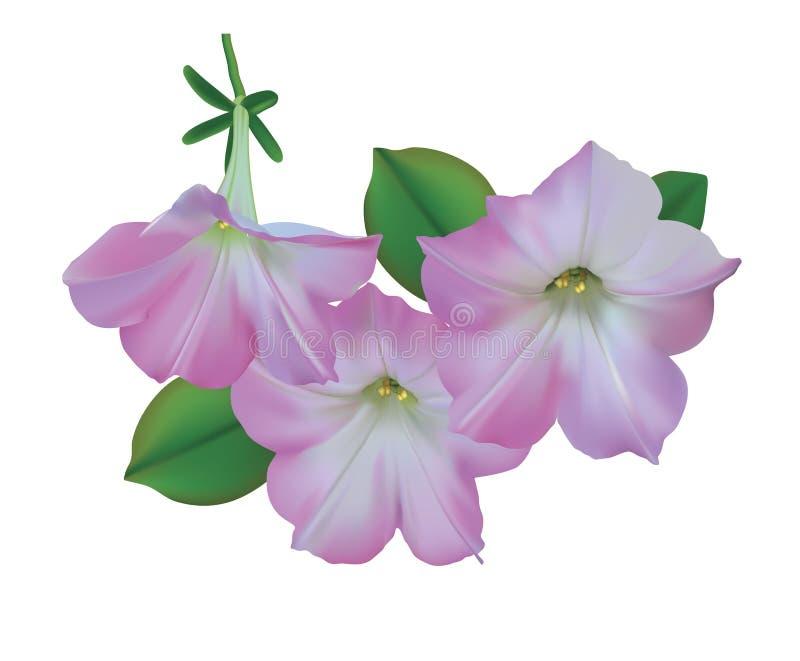 Petunias cor-de-rosa ilustração do vetor