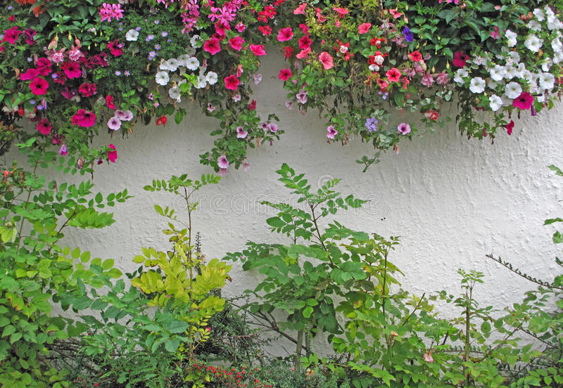 Petunias florecientes que conectan en cascada sobre la pared blanca del jardín del estuco imagenes de archivo
