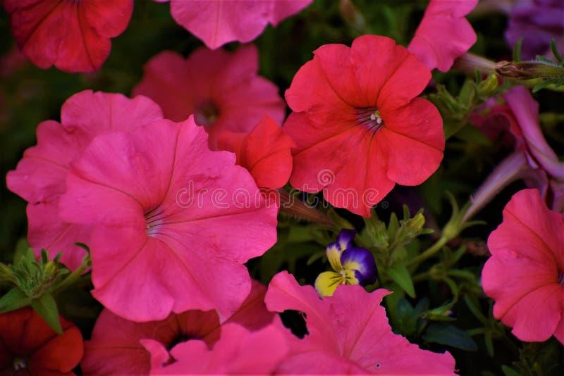 ¡Petunias idas salvajes! imagen de archivo