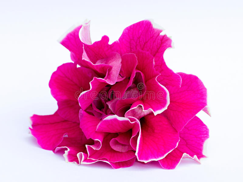 petunias royalty free stock images