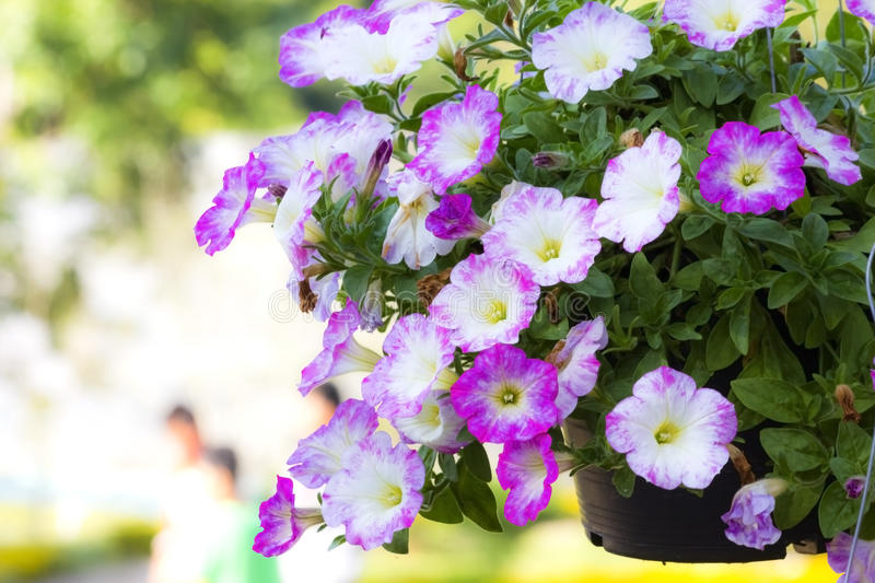 Petunias. �are one of the most popular type of annual. They are divided into two different groups: Grandiflora  have very large flowers and are best grown royalty free stock photo