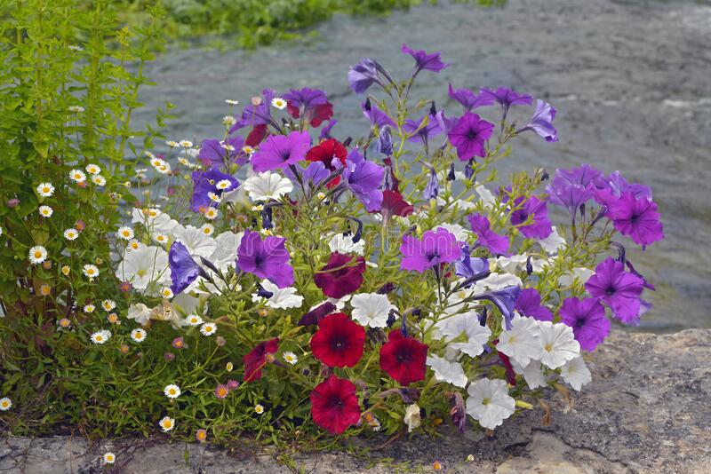 Petunias red and white and daisies royalty free stock photography