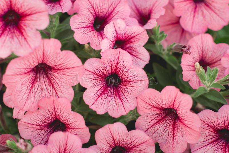 Petunias rojas hermosas en foco suave del jardín fotos de archivo libres de regalías