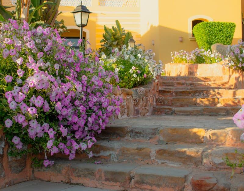 Petunias rosadas brillantes que desbordan encendido al camino y a los pasos de piedra foto de archivo