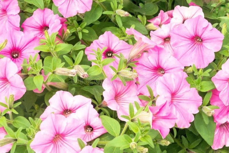 Petunias rosadas en jardín del verano imagenes de archivo