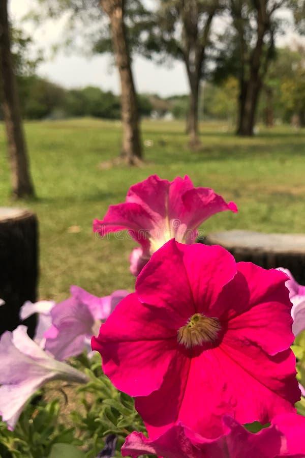 Petunie im Park stockfoto