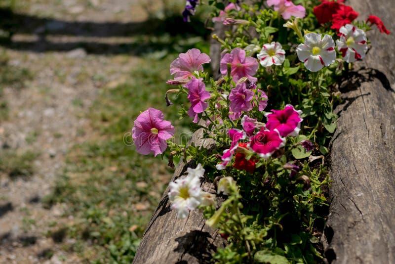 Petunie rosa e bianche immagini stock