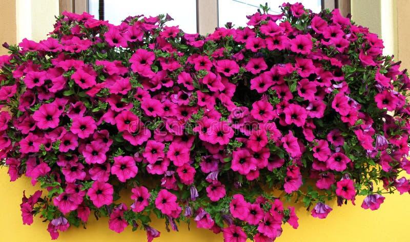 Petunie rosa nella finestra fotografia stock