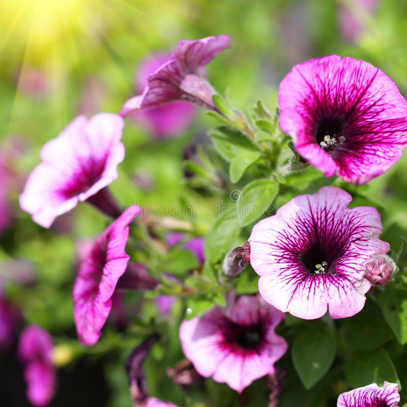 Petunien-Schleppen. Purpurrote Blumen im Garten stockbilder