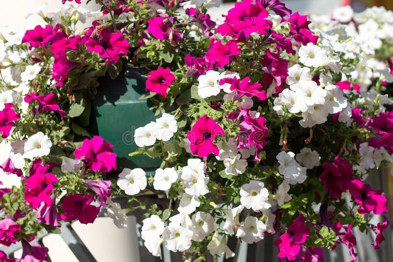 Petunienblumen stockbild