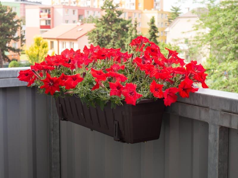 Petunienblumen, die im Blumentopf am Balkon blühen lizenzfreie stockbilder