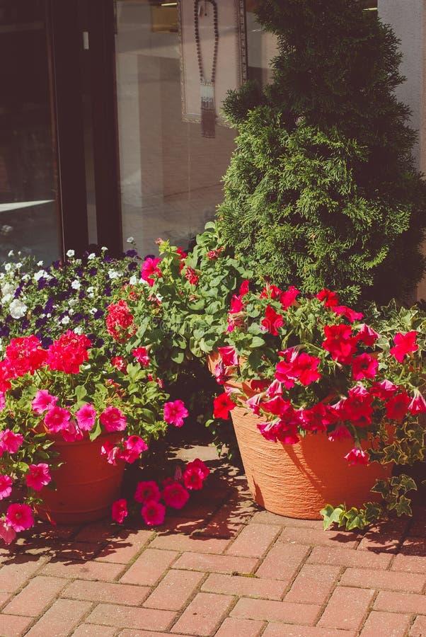 Petunienrosablumen in den keramischen Töpfen draußen stockfoto