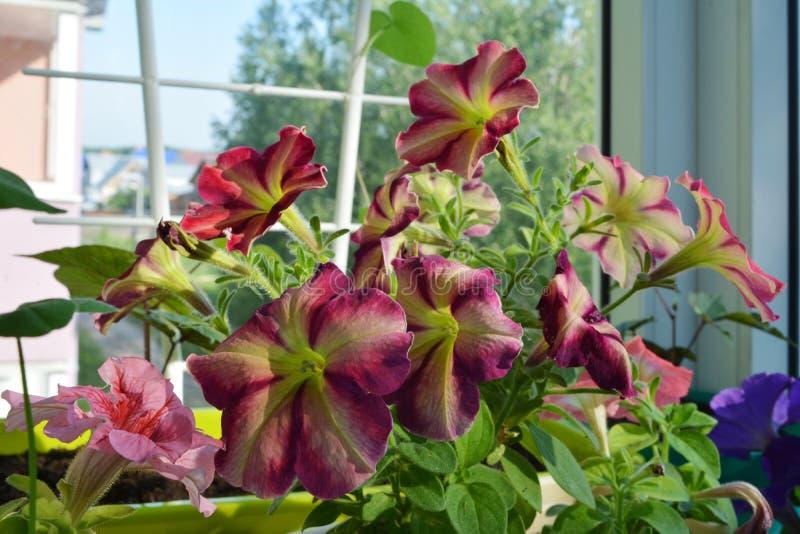 Petunior - en av mest populära sommarväxter och att blomma genom hela sommar royaltyfria bilder