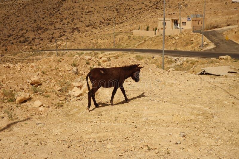 Peu âne en Jordanie photo libre de droits