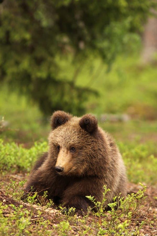 Peu animal d'ours s'étendant dans l'herbe images stock