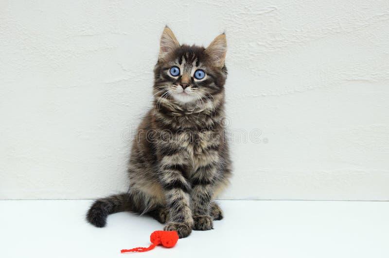 Peu chaton avec un jouet rouge se reposer sur le fond blanc photos libres de droits