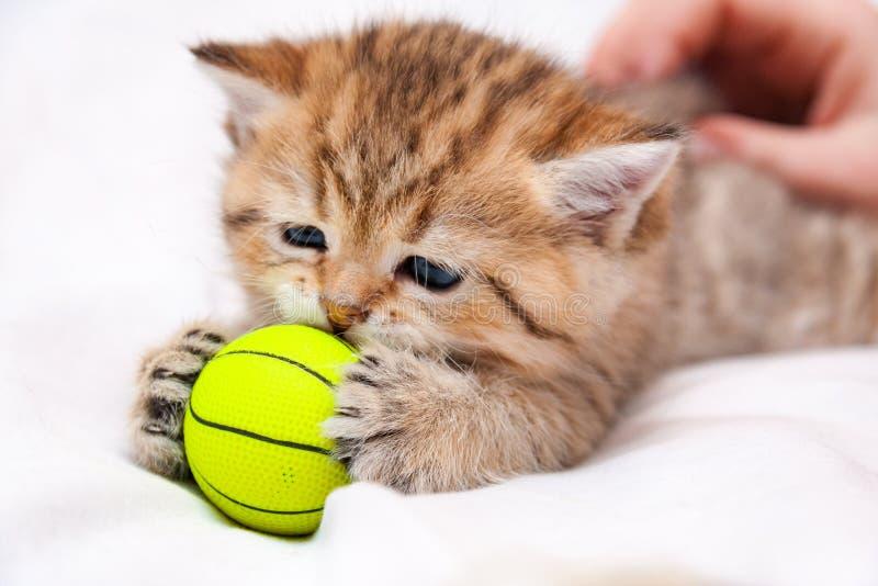 Peu chaton britannique rouge jouant avec une boule jaune image stock