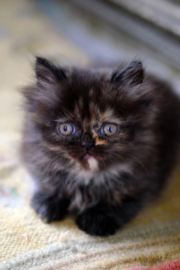 Peu chaton persan brun foncé photos stock