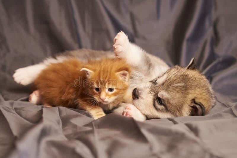 Peu chaton rouge Maine Coon à côté d'un Malamute mignon de chiot, sur un fond gris images stock