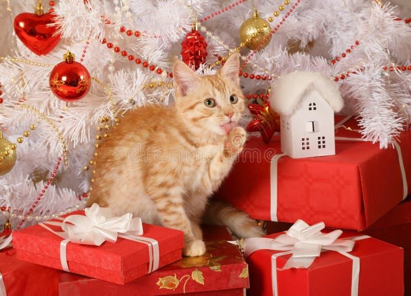 Peu chaton roux lèche sa patte photo libre de droits