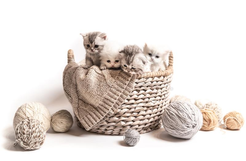 Peu chatons blanc-gris pelucheux d'isolement photo stock