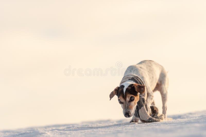 Peu chien beau mignon de Jack Russell Terrier avec les vêtements de protection en nature soit sur le mouvement devant le ciel nua photo stock