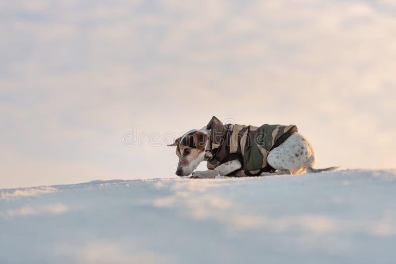 Peu chien beau mignon de Jack Russell Terrier avec les vêtements de protection en nature soit sur le mouvement devant le ciel nua photo libre de droits