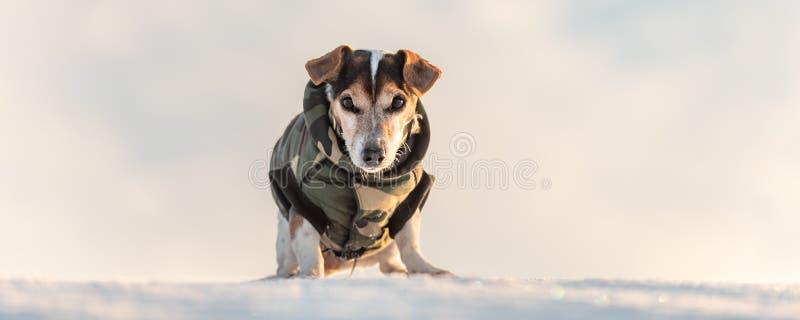 Peu chien beau mignon de Jack Russell Terrier avec les vêtements de protection en nature soit sur le mouvement devant le ciel nua image libre de droits