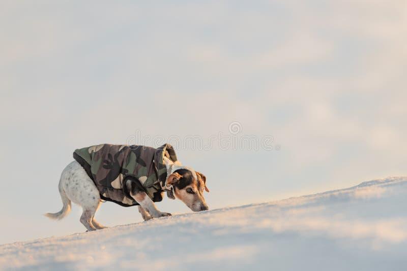 Peu chien beau mignon de Jack Russell Terrier avec les vêtements de protection en nature soit sur le mouvement devant le ciel nua photos libres de droits