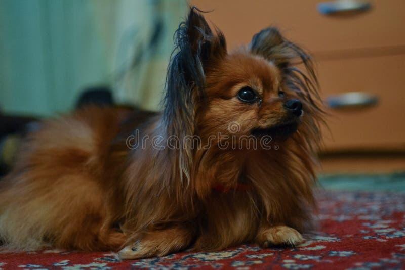Peu chien brun mignon avec de longs cheveux image libre de droits
