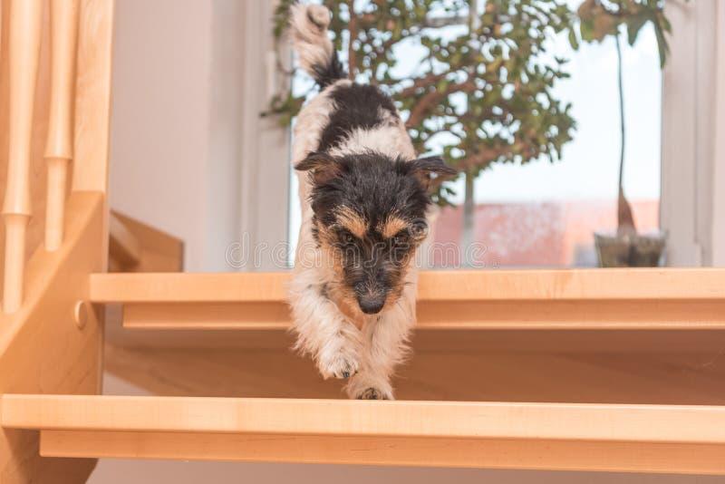 Peu chien mignon fonctionne en bas de l'escalier glissant Chienchien tricolore de Jack Russell Terrier images libres de droits