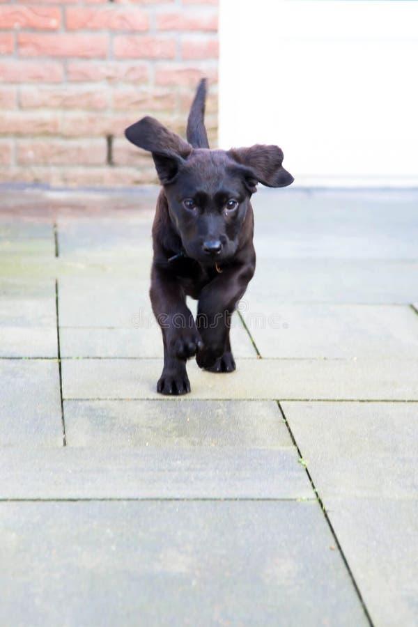 Peu chiot noir mignon labrador retriever fonctionne image libre de droits