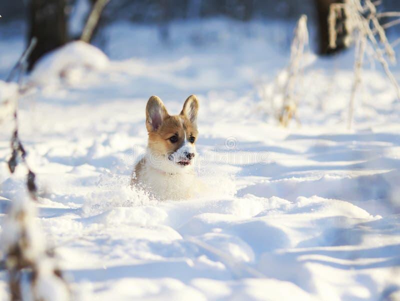 Peu corgi potelé de gingembre de chiot a l'amusement jouant dans la neige blanche en parc d'hiver pour une promenade image stock
