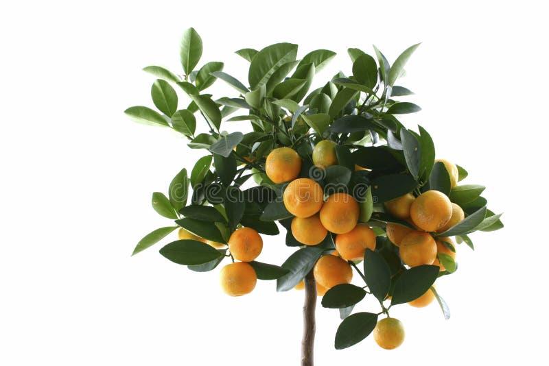 Peu d'arbre orange d'isolement photos stock