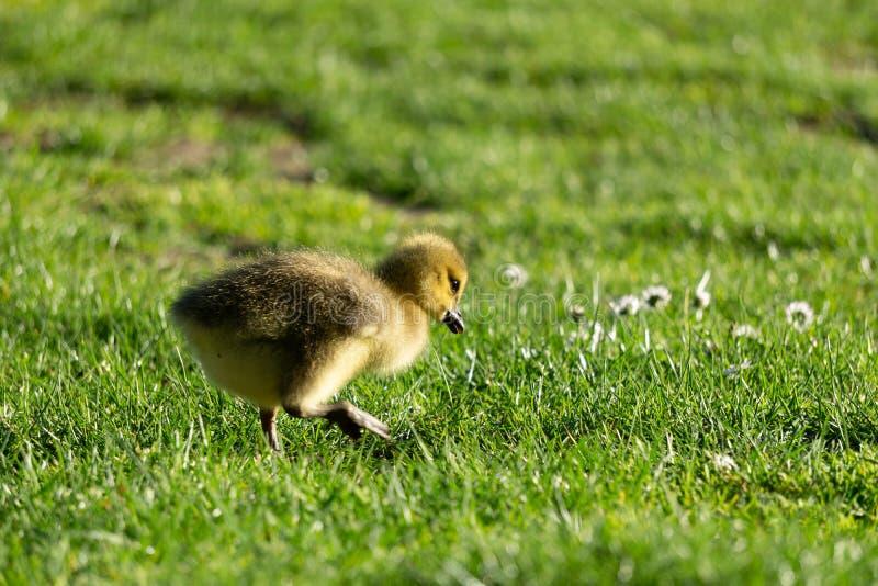peu d'oison sur le champ vert en parc image stock