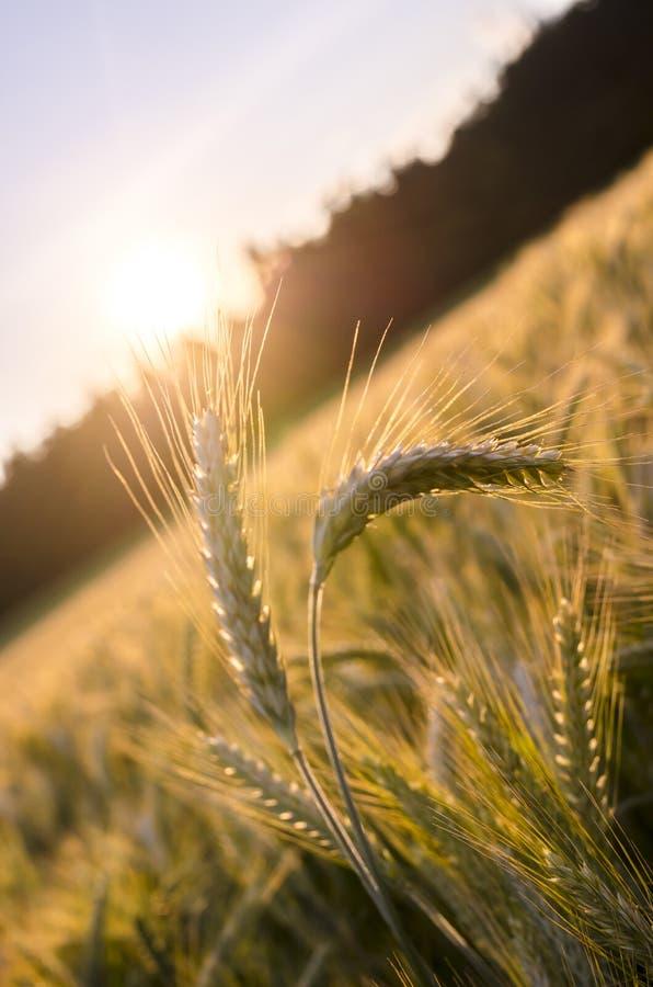 Peu d oreilles de blé se tenant hors du champ de blé