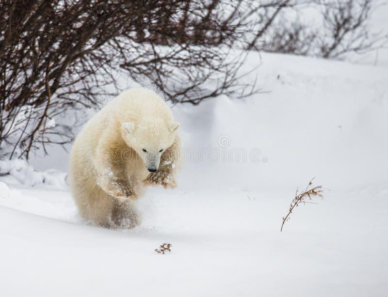 Peu d'ours joue avec une branche dans la toundra canada photographie stock libre de droits