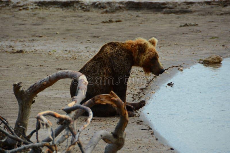Peu d'ours se reposant sur le rivage image libre de droits