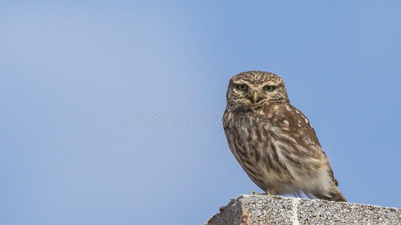 Peu d'Owl Perches sur le toit photographie stock
