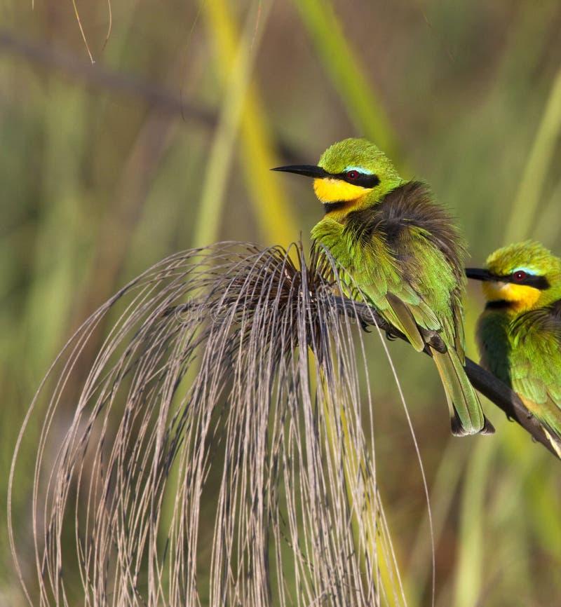 Peu de Bee-Eater - delta d'Okavango - le Botswana image libre de droits
