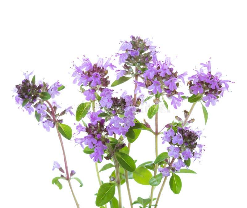 Peu de brins de floraison de serpyllum de thymus de thym sauvage d'isolement sur le fond blanc image stock
